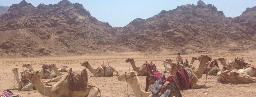 Kamele im Oman